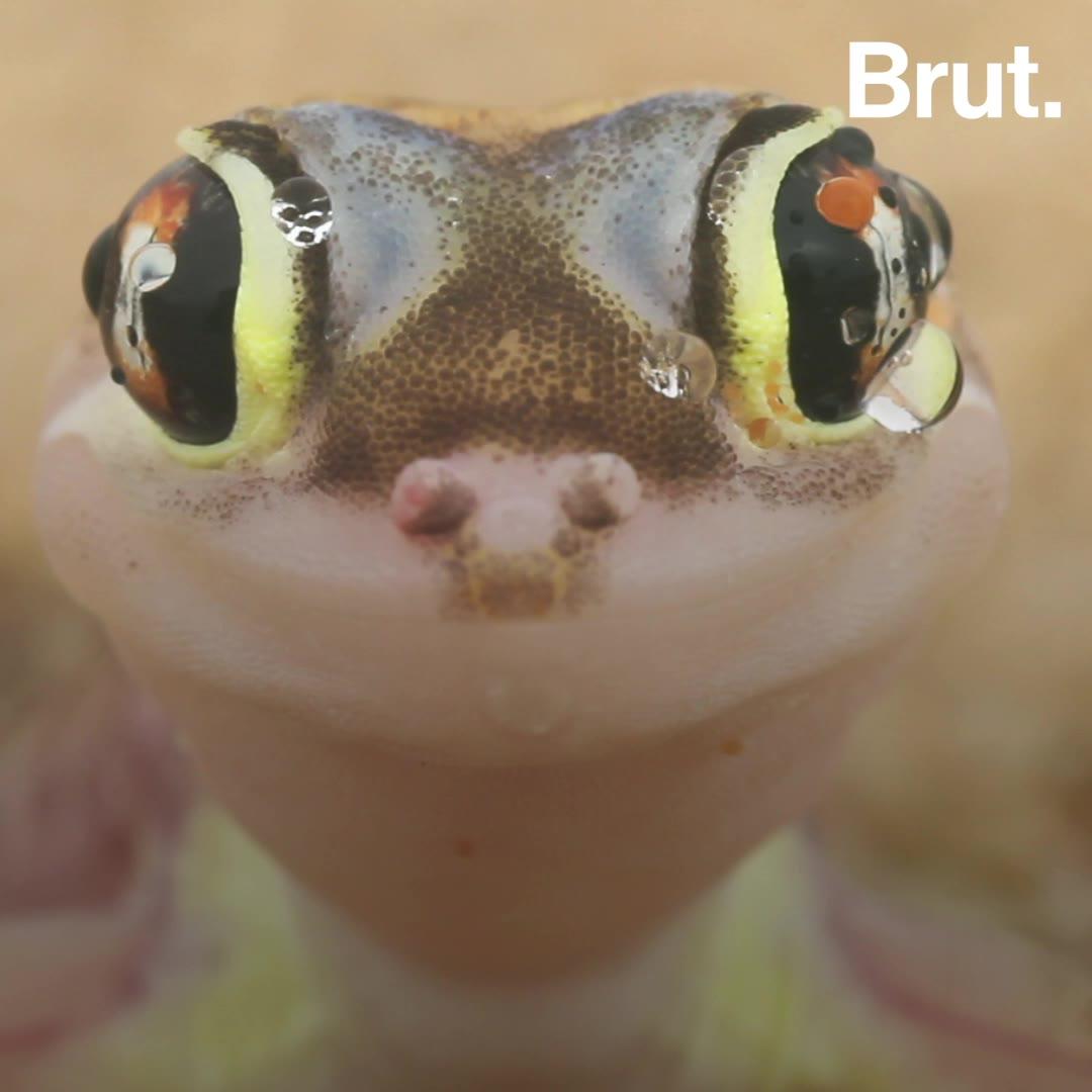 Ce gecko vit dans les dunes de sables de Namibie | Brut.