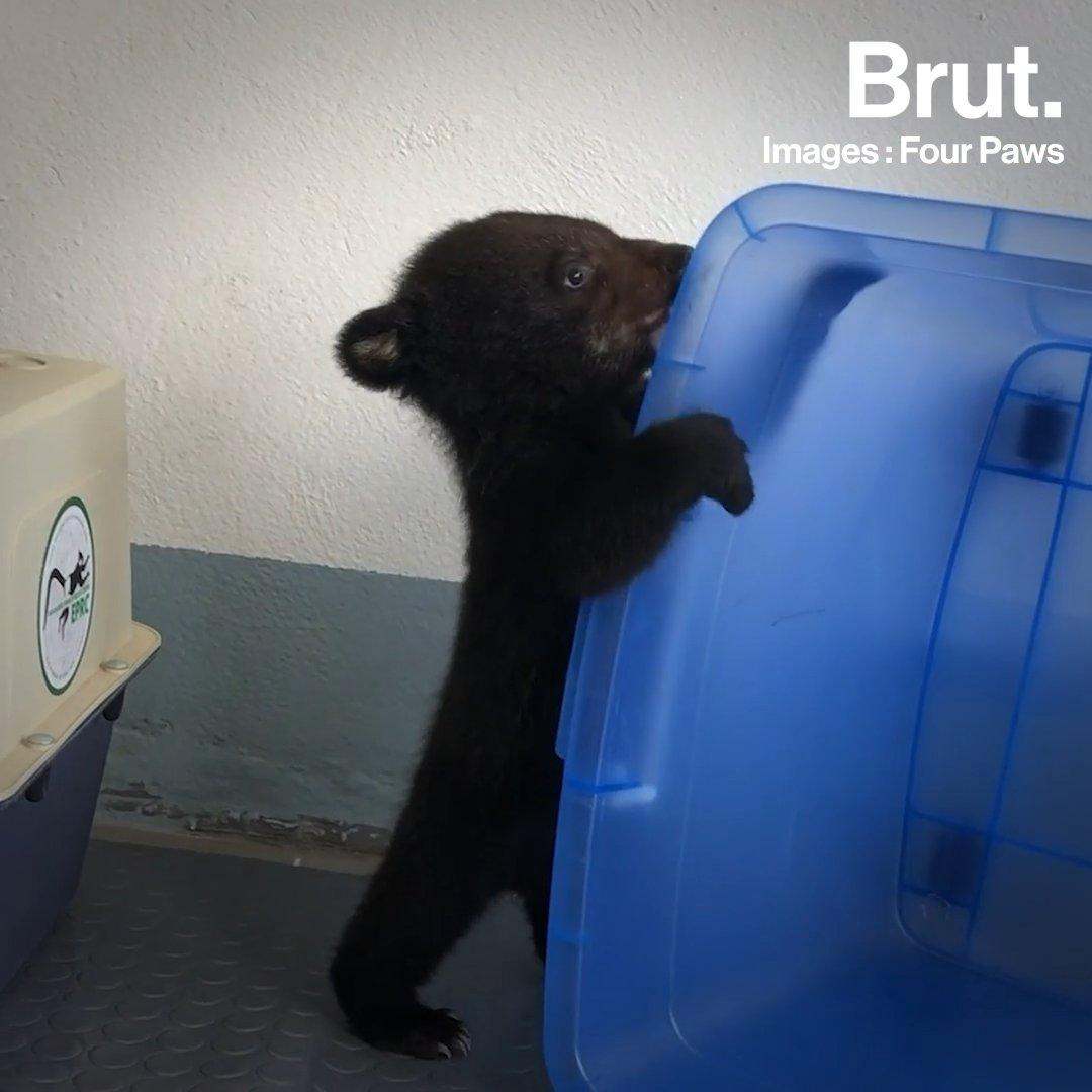 Cet ourson a échappé de justesse au trafic illégal | Brut.