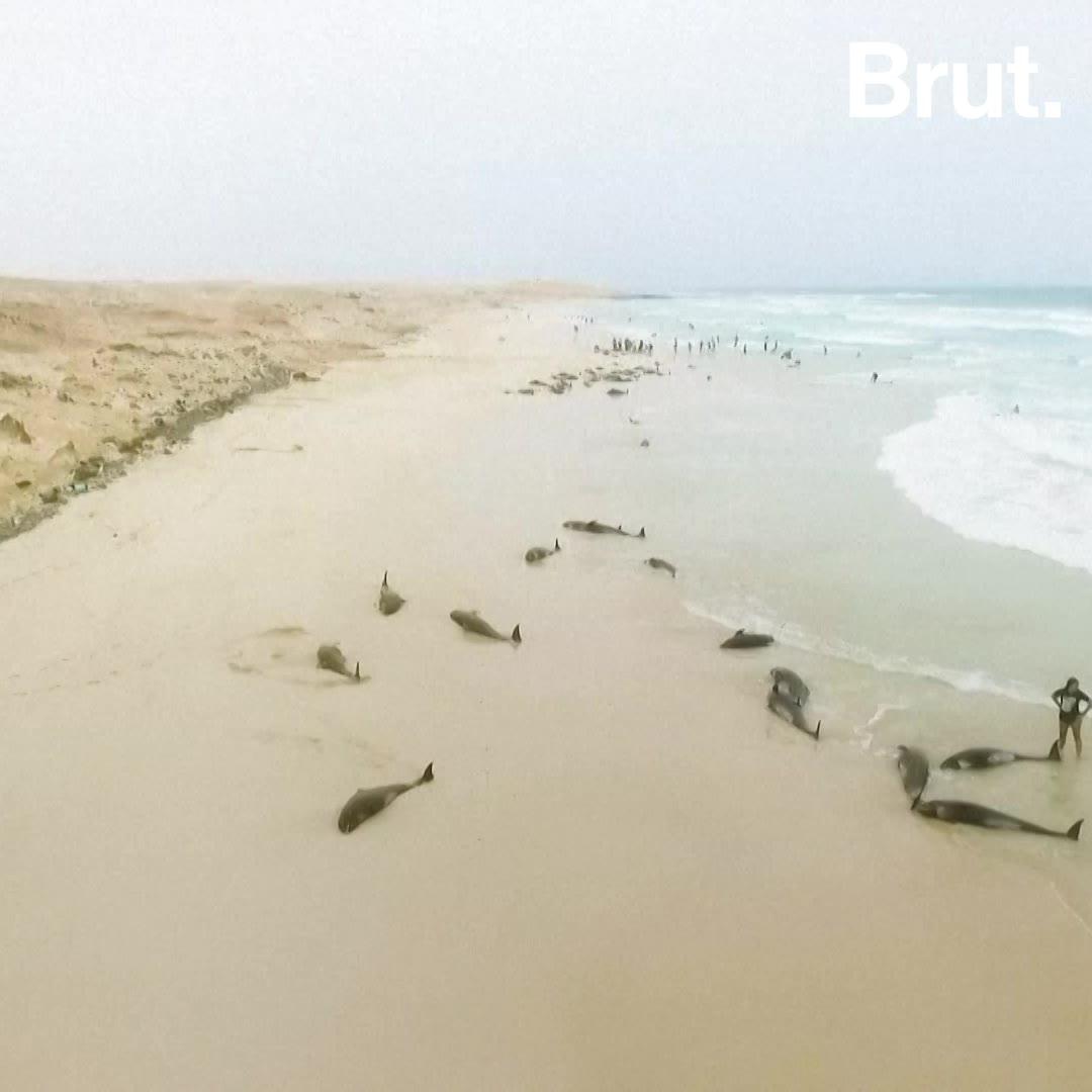 Des dauphins mystérieusement échoués au Cap Vert | Brut.