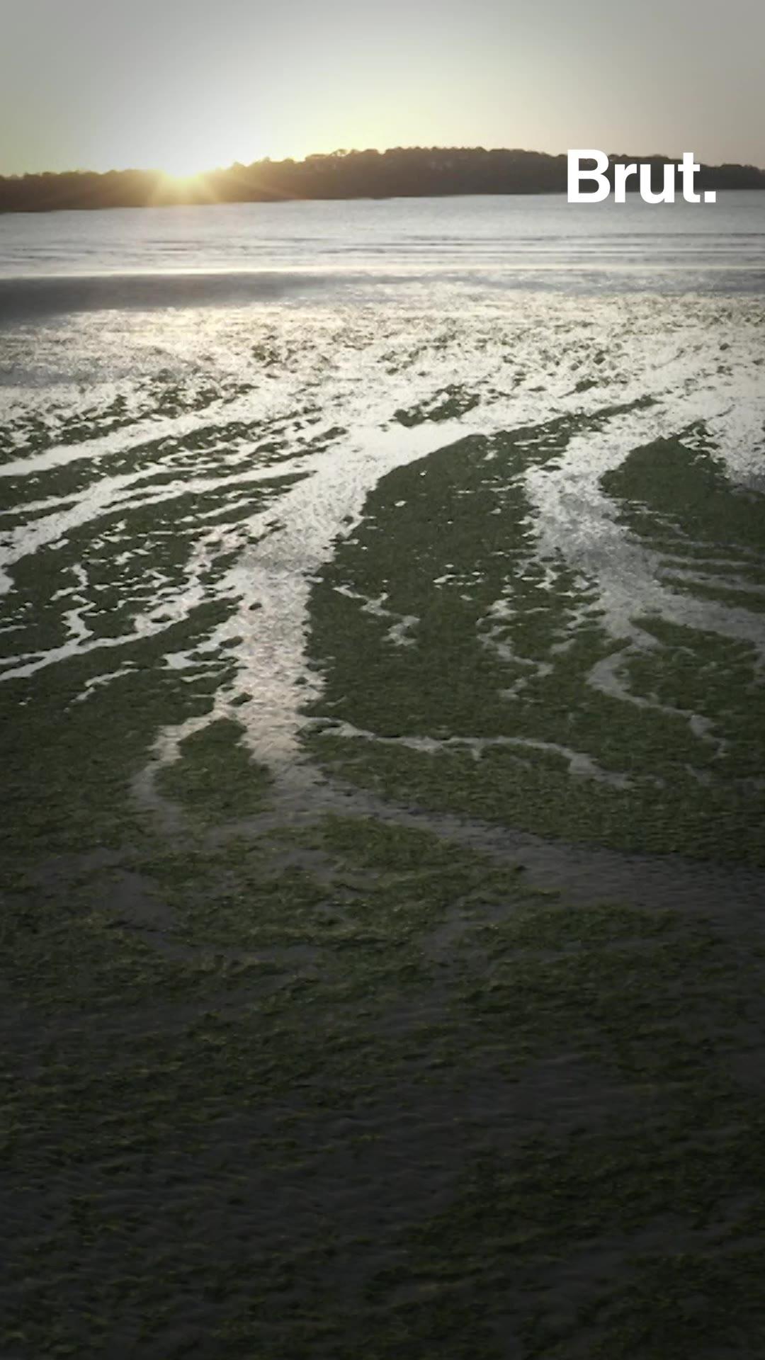 En Bretagne, des algues vertes mortelles inquiètent la population | Brut.