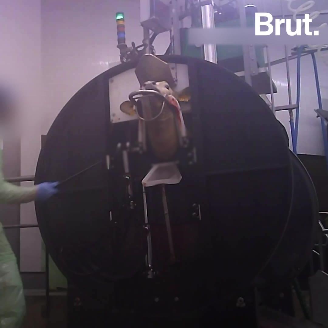 Les images-chocs d'un abattoir labellisé révélées par L214   Brut.