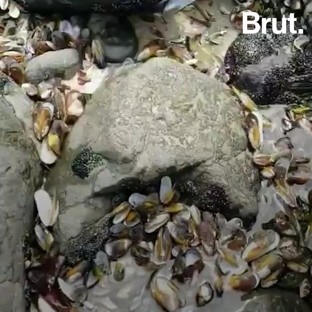 Près d'un demi-million de moules mortes en Nouvelle-Zélande | Brut.