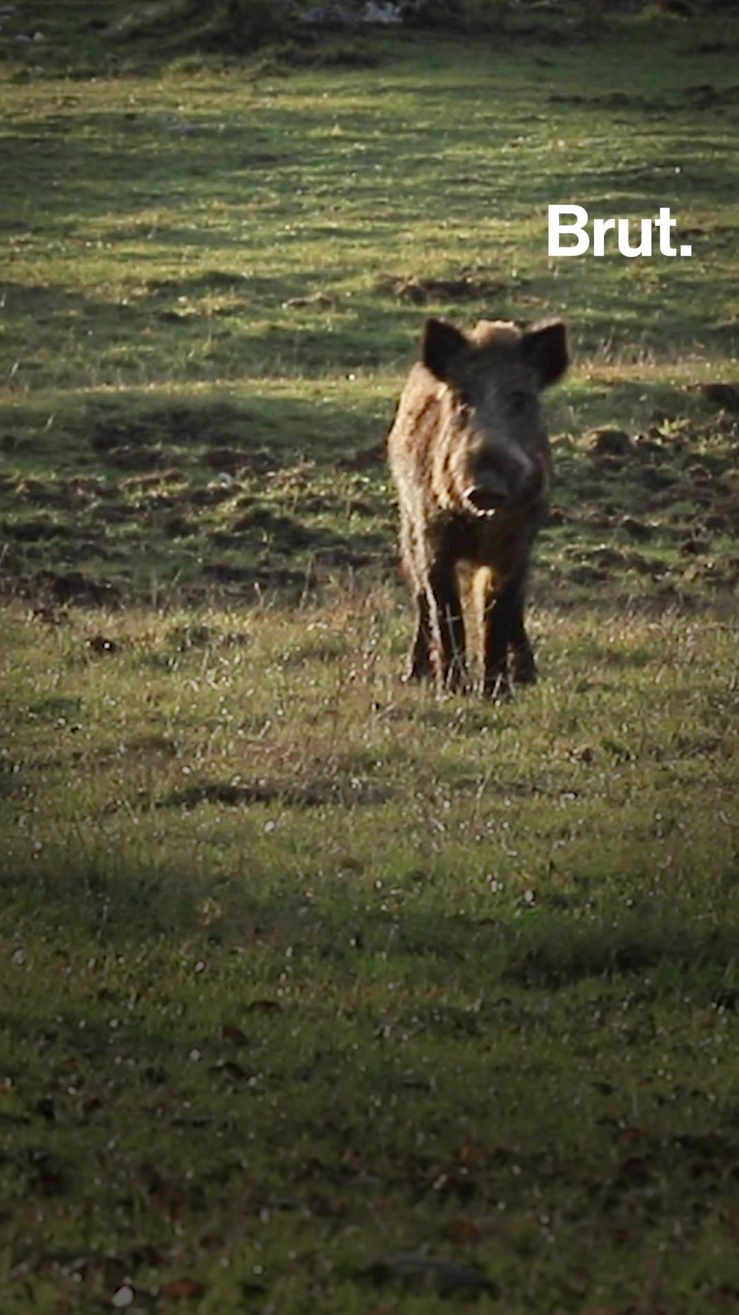 Sangliers : la reprise de la chasse relance le débat entre chasseurs, défenseurs des animaux et agriculteurs | Brut.