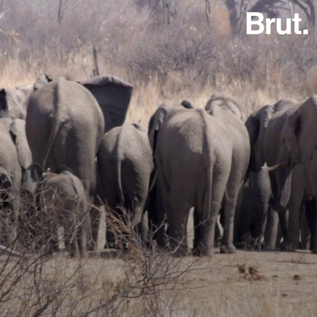 Zimbabwe : plusieurs dizaines d'éléphants retrouvés morts