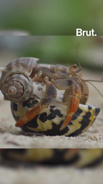 ¿Cómo cambian sus caparazones los cangrejos ermitaños?