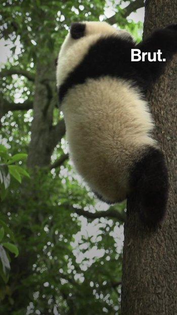 ¿Qué es la diplomacia del panda?