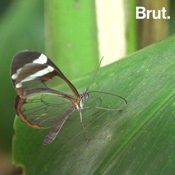 Ce papillon mise sur la transparence pour se protéger