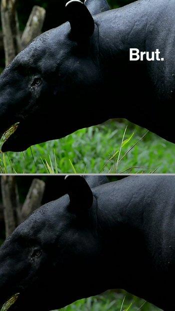 Este es el tapir más grande del mundo