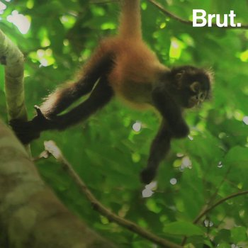 How spider monkeys use their tail