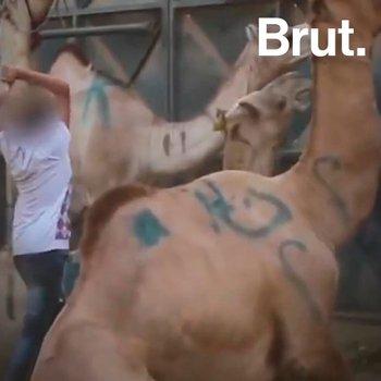L'Égypte veut interdire les balades à dos de chameaux, chevaux et ânes autour des pyramides de Gizeh