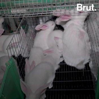 L'insémination artificielle de lapins : une pratique controversée