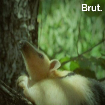 Le tamandua : un fourmilier perché dans les arbres