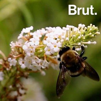 Le xylocope, la plus grande abeille d'Europe