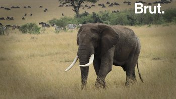 "Les girafes, menacées d'extinction ""silencieuse"""