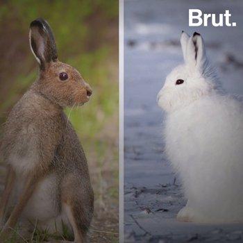 Pourquoi certains animaux deviennent blanc avant l'hiver