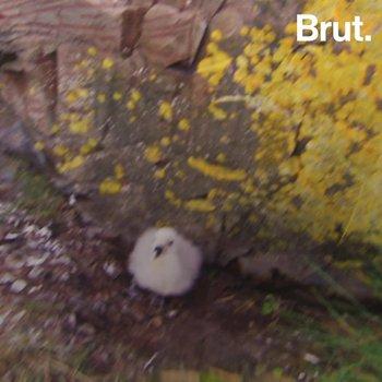 This bird regurgitates a revolting substance onto their predators