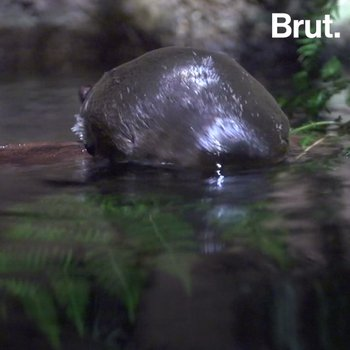 Voici l'un des mammifères les plus étranges du règne animal
