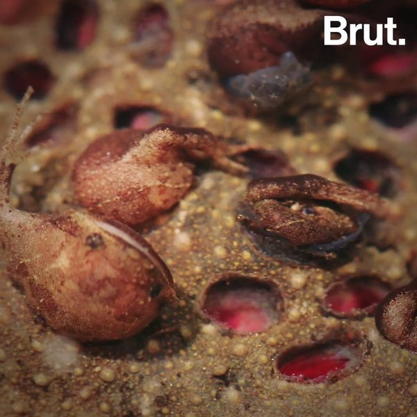 How Is The Common Suriname Toad Born Brut