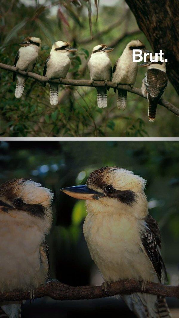 Le Kookaburra rieur, petit oiseau au cri célèbre
