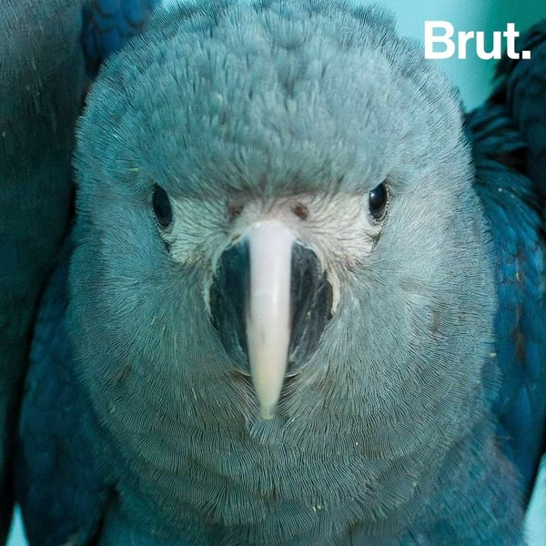 bestbewertetes Original Trennschuhe Finden Sie den niedrigsten Preis The Spix's Macaw has disappeared in the wild